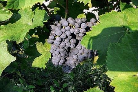 Dichiarazioni vitivinicole di vendemmia e produzione Campagna 2019-2020